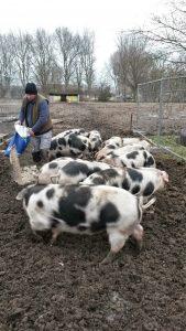Arnold voert de varkens. (Foto: Menno Sedee)